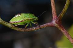 Punaise verte ponctue - Nezara viridula - Green stink bug (pablo 2011) Tags: collectionnerlevivantautrement nikonflickraward nikonpassion nikond7000 macro toulouse nature digue des amidonniers insecte insect punaise punaiseverte nezaraviridula greenstinkbug