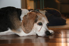 91/365/3013 (September 10, 2016) - Relaxing with Flappy (cseeman) Tags: flappy flapjack beagle dogs pets tired floor wood laminate sleepy recovering 2016project365coreys yearnineproject365coreys project365 p365cs092016 356project2016