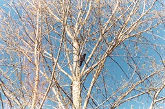 Crow Perched in Tree (Anne Abscission) Tags: everett washington langusriverfrontpark pacificnorthwest hiking trails nature spring crow bird corvid tree barebranches olympusmjuzoom105 olympus mju kodakgold 200asa kodakgold200 filmphotography 35mm 35mmfilm film analog bluesky
