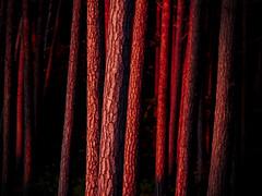 Forest (turqoisephoto) Tags: gx7 dars wald forest wood tree sunset nature landscape ostsee weststrand balticsea