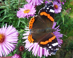 Red Admiral (eric robb niven) Tags: ericrobbniven scotland redadmiral butterfly macro summerwatch howff dundee nature wildlife