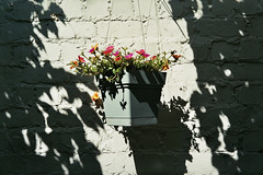 hanging basket (InSoManyWords) Tags: film 35mm fujisuperia200 fujifilm rollei35 flowers garden portulaca