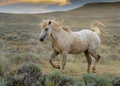 Run Like the Wind (Happy Photographer) Tags: wild horse running sunset wyoming mcculloughpeaks herd stallion wildlife nature amyhudechek