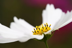 Cosmos (nikjanssen) Tags: flowers cosmos macro dof bloem garden explore