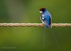 Wire-tailed swallow (Sreelesh Sreedhar) Tags: sawllow animal aquatic nature bird india tele kerala flying green ngc grassland nikon nikonflickraward nikond7100 wildlife kannur nikon200500 outdoor river birdphotography