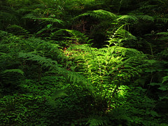 Sunlight on green Fern (Batikart ... handicapped ... sorry for no comments) Tags: wood summer sunlight mountain plant fern green nature leaves fairytale rural forest canon germany geotagged outdoors deutschland leaf flora europa europe day natural sommer branches natur pflanze tranquility sunny august spotlight powershot jungle vegetation bracken growing grn shamrocks blatt ste magical wald bltter schwarzwald farn 2012 schluchsee thicket g11 stille trefoils badenwrttemberg swabian ruhe kleeblatt seebrugg 100faves kleebltter quotblack dickicht quotcanon batikart forestquot blackquot g11quot quotview farndickicht
