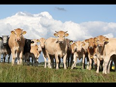 Curiosity Killed The Cattle (Ger Bosma) Tags: cow cattle cows getty vee rund koe runderen img55169a