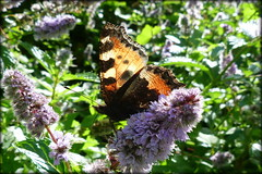 Small Tortoiseshell Butterfly - Aglais uticae (pixmad) Tags: lumix butterflies september panasonic southport 2012 heskethpark bigbutterflycount fz45