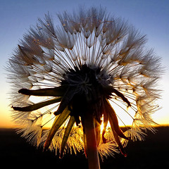 Its all Dandy  :-) (Vide Cor Meum Images) Tags: new sunset sun macro sunrise weed horizon northamptonshire illuminated dandelion seeds seedhead dew round starburst hs20 brigstock lyveden markcoleman supershot myfuji 100commentgroup hs20exr sunrays5 mac010665yahoocouk