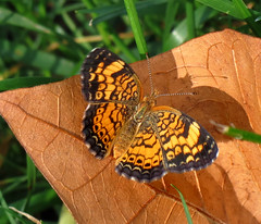 Pearl Crescent (Trish Overton) Tags: butterfly butterflies crescent pearl evansville in