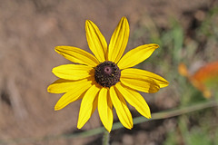 CAB010321a (jerryoldenettel) Tags: flower susan daisy nm rudbeckia wildflower asteraceae blackeyedsusan 2012 elkmountain yellowdaisy browneyedsusan gloriosadaisy asterales brownbetty yellowoxeyedaisy asterids rudbeckiatriloba browndaisy sanmiguelco goldenjerusalem poorlanddaisy