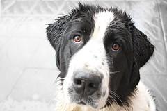 dog wet hair droopy landseer newfoundlander pca223