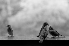 Me? Jealous? (Michel Couprie) Tags: blackandwhite bw france bird nature birds animal canon eos noiretblanc sparrow 7d oiseau storytelling moineau