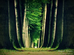 Royal Trees (Reografie) Tags: loo tree royal boom apeldoorn landgoed hetloo paleistloo tloo nibbie reografie