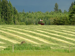 cut and ready for baling (artistgal) Tags: green field rural landscape stripes harvest friendlychallenges