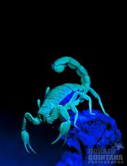 Scorpion, paruroctonus spp. glowing in the dark from a U.V. light. Los Osos, CA (captive) (Donald Quintana Nature Photography) Tags: ca blue black macro nature closeup dark dangerous glow shine legs background wildlife arachnid uv sting lososos scorpio scorpion belly blacklight underside glowing harmless poison barb stinger ultraviolet painful creep poisonous deadly venomous flatrock venom arthropod uvlight buthidae italicus fluoresce euscorpius neurotoxic thicktailed fluorescing uroplectes
