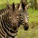 Muitas zebras