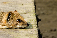 Living on the edge (Channed) Tags: animal zoo mongoose dierentuin yellowmongoose ouwehandsdierenpark vosmangoest ouwehandszoo chantalnederstigt