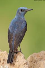 Blue Rock Thrush (arfromqatar) Tags: qatar bluerockthrush canon1dmarkiv birdsofqatar  arfromqatar qatar2022fifaworldcup abdulrahmanalkhulaifi