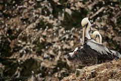 Surrounded Pelican (Bertie Allison) Tags: peru birds dof wildlife islas brownpelican ballestas occidentalis pelecanus canon1000d