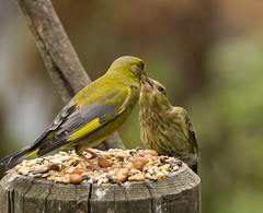 Adult Greenfinch Feeding A Fledgling (Chris McLoughlin) Tags: bird nature greenfinch fairburningsrspbreserve sigma150mm500mm chrismcloughlin sonya77 slta77