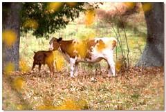 Mother and Calf (RufusZulu) Tags: cow cattle southcarolina pasture robertfrost calf konicaminoltamaxxum5d yorkcountysc minolta70210mmafmacro towncharacterphotography2012 pspx5 playfindthewatermark paintshopprox5