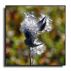 Weed Seeds (Hold still) Tags: summer bokeh fallcolors seedpod shallowdepthoffield squawcreek commonmilkweed squawcreeknationalwildliferefuge elementsorganizer