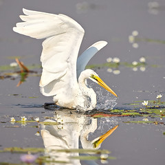 Great Egret (preview_rob) Tags: nt arnhem great land kakadu greategret