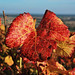 feuille-pinot-automne-aloxe
