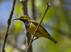 Nectarinia jugularis (Birdman of Brownsville) Tags: bird australia queensland townsville pallarenda nectarinajugularis yellowbelliedsunbird