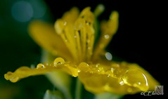 Regentropfen /  raindrops (Ellenore56) Tags: light inspiration color colour detail macro reflection nature wet floral rain yellow botanical licht photo flora focus waterdrop foto rainyday blossom magic natur perspective drop gelb bloom raindrops vista droplet imagination outlook moment makro blte magical farbe reflexion herb rainfall regen nas raindrop perspektive challenging fascinating reflektion wassertropfen tropfen celandine dud medicinalplant regentag augenblick fokus rainday florescence waterdroplet botanik regentropfen trpfchen faszination intherain heilkruter schllkraut swallowwort heilpflanze medicinalherb heilkraut pflanzenwelt faszinierend medicalplant sonya350 ellenore56 05102012