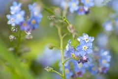 DSC_0312 (photoart33) Tags: flowers blue green nature rain spring raindrops forgetmenots persephonesgarden