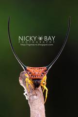 Long Horned Orb Weaver (Macracantha arcuata) - DSC_4885 (nickybay) Tags: macro thailand back long orb weaver spiny horned khaoyai arcuata macracantha