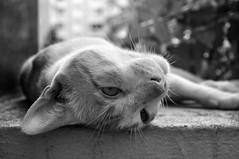 Sunday (Abhijit Chendvankar) Tags: blackandwhite india cat nikon flickr nap bokeh sunday lazy maharashtra nikkor mumbai bnw laze d5000 nikond5000