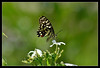 308 - LIME BUTTERFLY (Papilio demoleus) (ArvinderSP) Tags: flowers nature closeup asp limebutterfly papiliodemoleus thegalaxy crapejasmine tamronaf70300mmf456dild mygearandme nikond3100