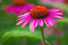 RG_302 ( Ed Lee) Tags: nikon 7100 200500 56e richmond green morning overcast garden floral flower portrait color contrast closeup macro bokeh petal echinacea plant bright depthoffield