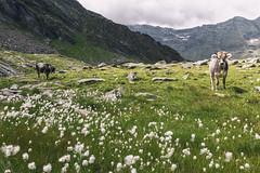 ERENSEE (zozoros) Tags: erensee cows mucche lagodonore plan pfelders valpassiria passiriental alps alpi montagna monti mountains landscape italy italia