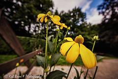 20160807_6039_Rudbeckia-bw (Rob_Boon) Tags: colefpro4 plant rudbeckia robboon flower nature