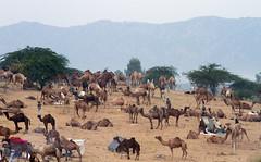 IMG_3806 (SOMRAJ SAHU 2) Tags: camel camelsellers rajasthan pushkar