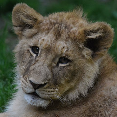 Atlas @ Zoo de Beauval 10-05-2016 (Maxime de Boer) Tags: atlas african lion afrikaanse leeuw panthera leo big cats katachtigen zoo parc de beauval saintaignan france animals dieren dierentuin