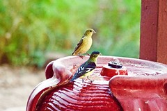 Finches at the Fountain (phicks172) Tags: bird finch