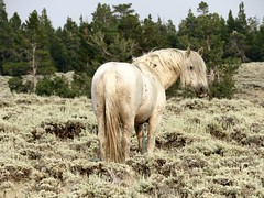 Luna (prairiegirrl) Tags: mustang wildhorses greenmountainhma wyoming keepwildhorseswild