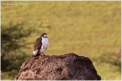 The Buzzard! (MAC's Wild Pixels) Tags: thebuzzard augurbuzzard raptor birdofprey wildbird wildafrica birdsofeastafrica beautifulbird colourfulbird birdwatcher ngorongoroconservationarea ngorongorocrater tanzania macswildpixels