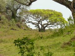 Leopard George in the Mara ! (Mara 1) Tags: africa kenya masai mara leopard rock trees outdoors