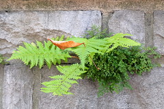 Soft landing (zinnia2012) Tags: fern wall autumnleaf foliage texture feuillage mur green brown nature latesummer