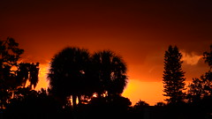 Blistering Sunset (Jim Mullhaupt) Tags: hot blistering sunset sundown dusk sun evening endofday sky clouds color red gold orange pink yellow blue tree palm silhouette weather tropical exotic wallpaper landscape nikon coolpix p900 bradenton florida manateecounty jimmullhaupt cloudsstormssunsetssunrises photo flickr geographic picture pictures camera snapshot photography nikoncoolpixp900 nikonp900 coolpixp900 weatherphotography
