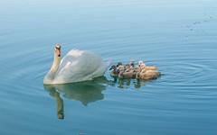 swan's family (22) (Vlado Fereni) Tags: animals animalplanet birds swansfamily lakes lakezajarki zaprei croatia hrvatska nikond600 nikkor8020028