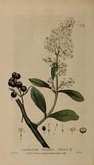 Anglų lietuvių žodynas. Žodis ligustrum vulgare reiškia <li>ligustrum vulgare</li> lietuviškai.