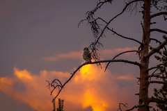 getting active (SeALighT!) Tags: finland suomi finnland tree night midnightsun owl shortearedowl
