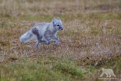 Polar Fox (fascinationwildlife) Tags: animal mammal polar fox arctic wild wildlife nature natur field fuchs summer spitsbergen spitzbergen svalbard run north norway norwegen